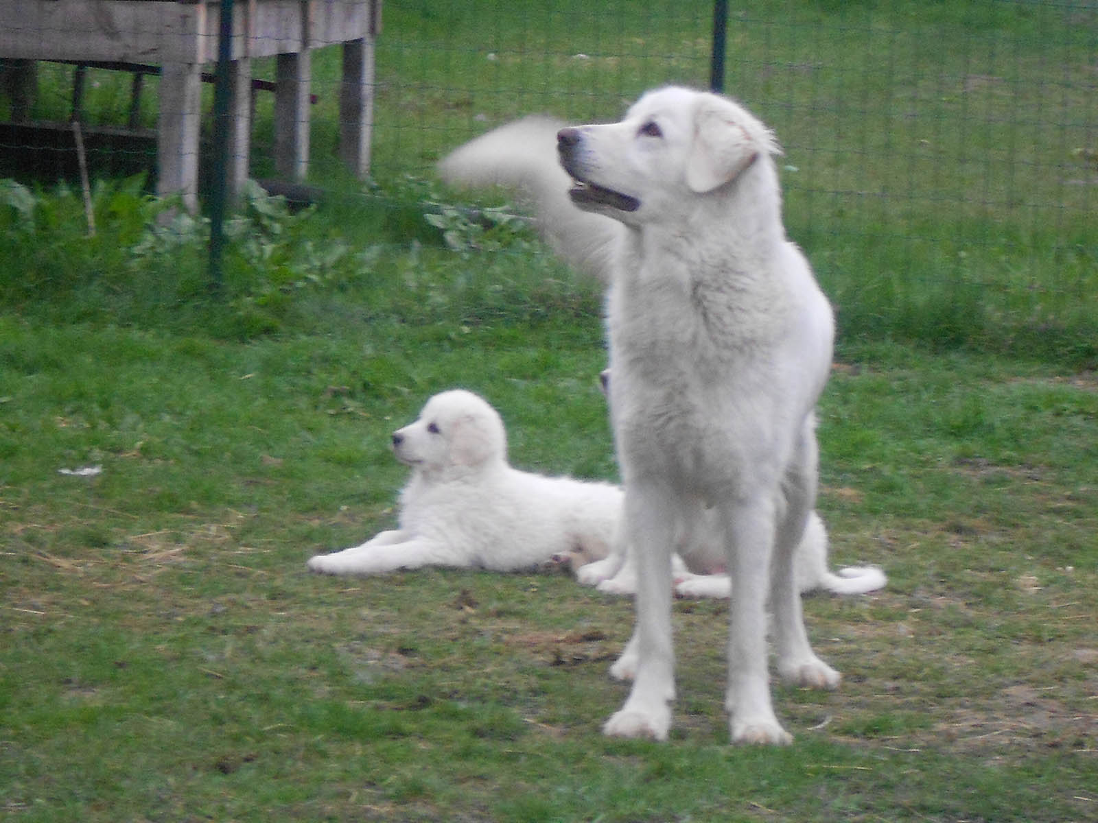 due pastori maremmani che guardano in alto