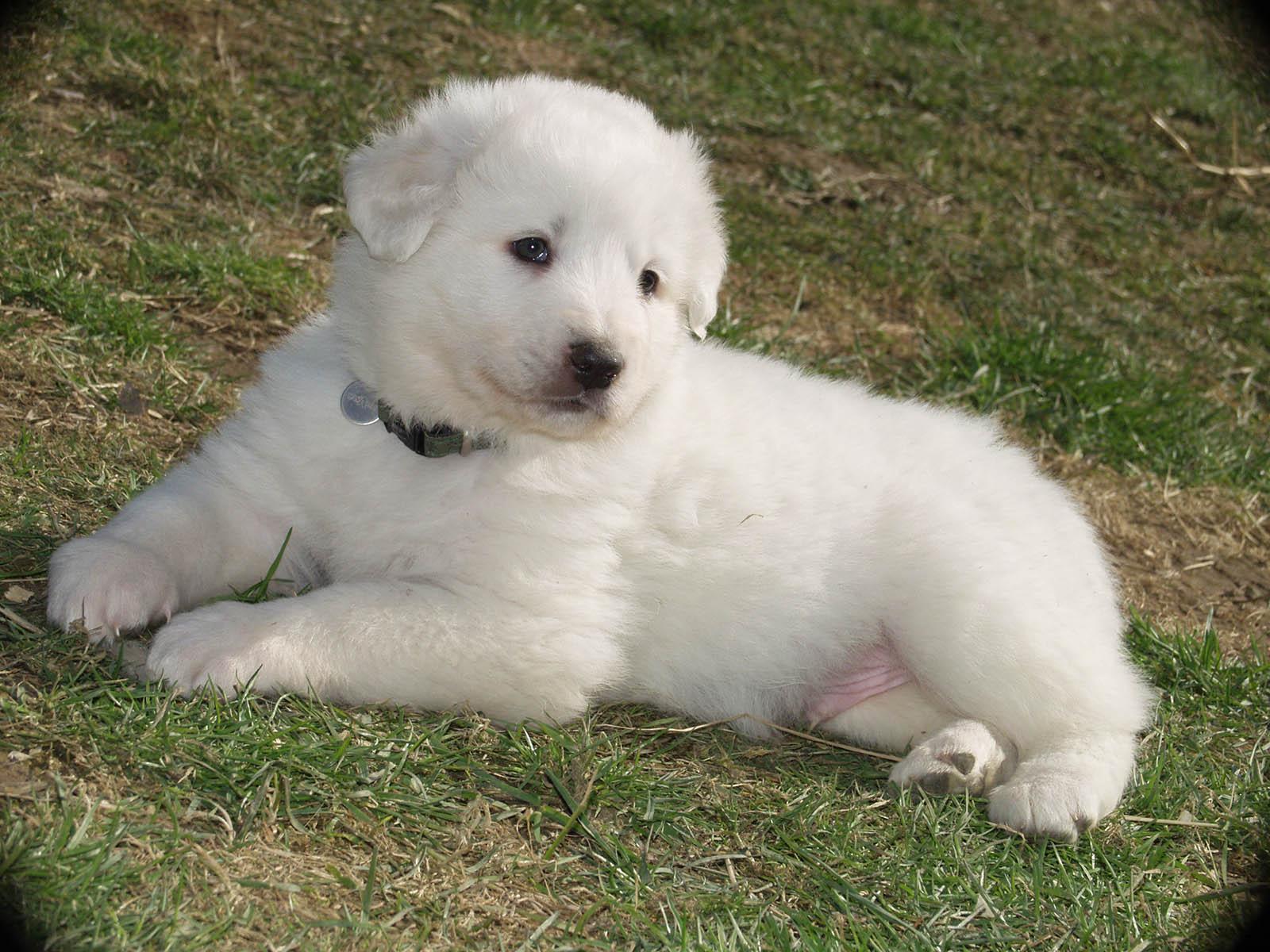 un cucciolo di pastore maremmano
