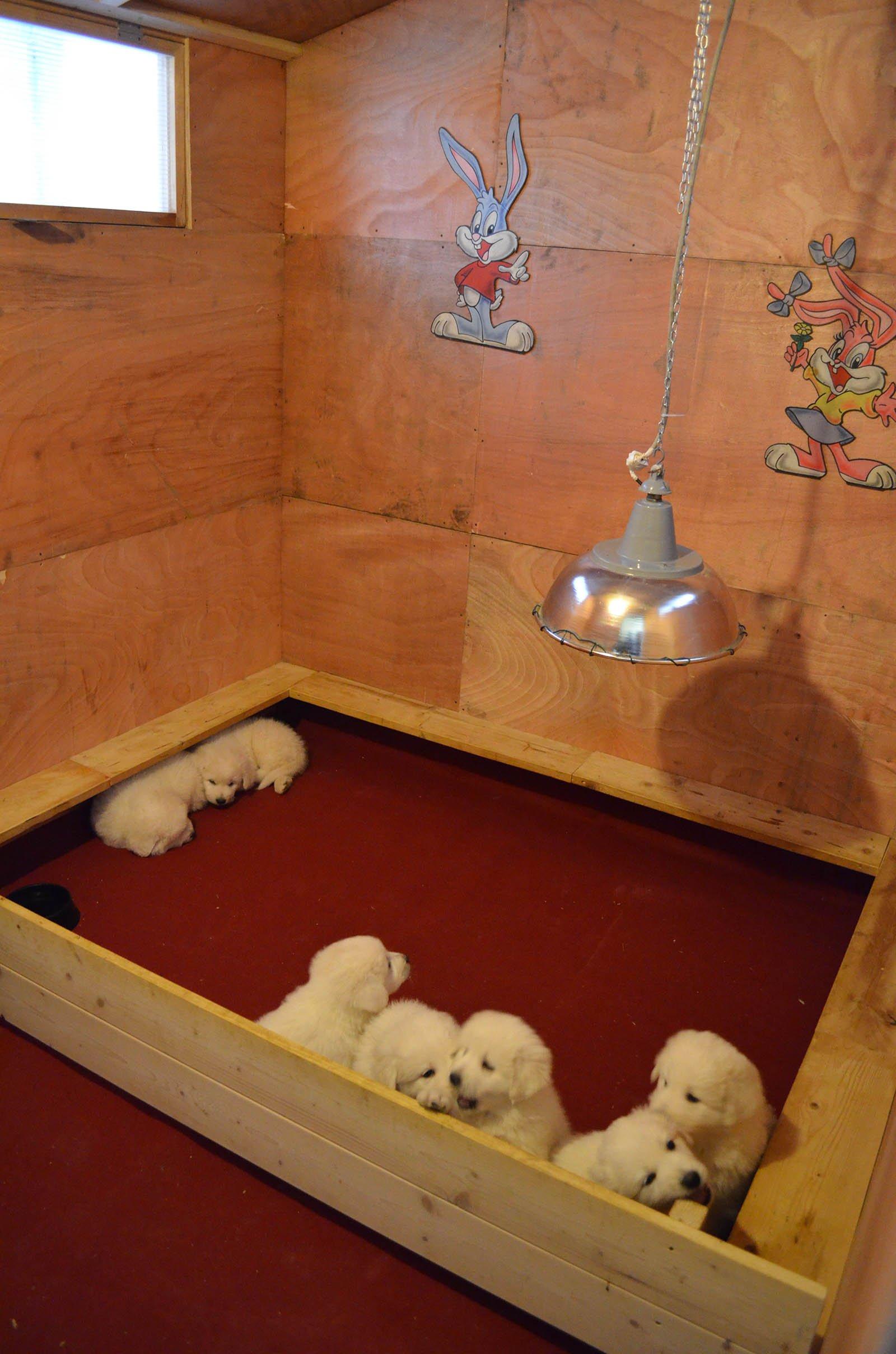 dei cuccioli di pastore maremmano in un box  di legno