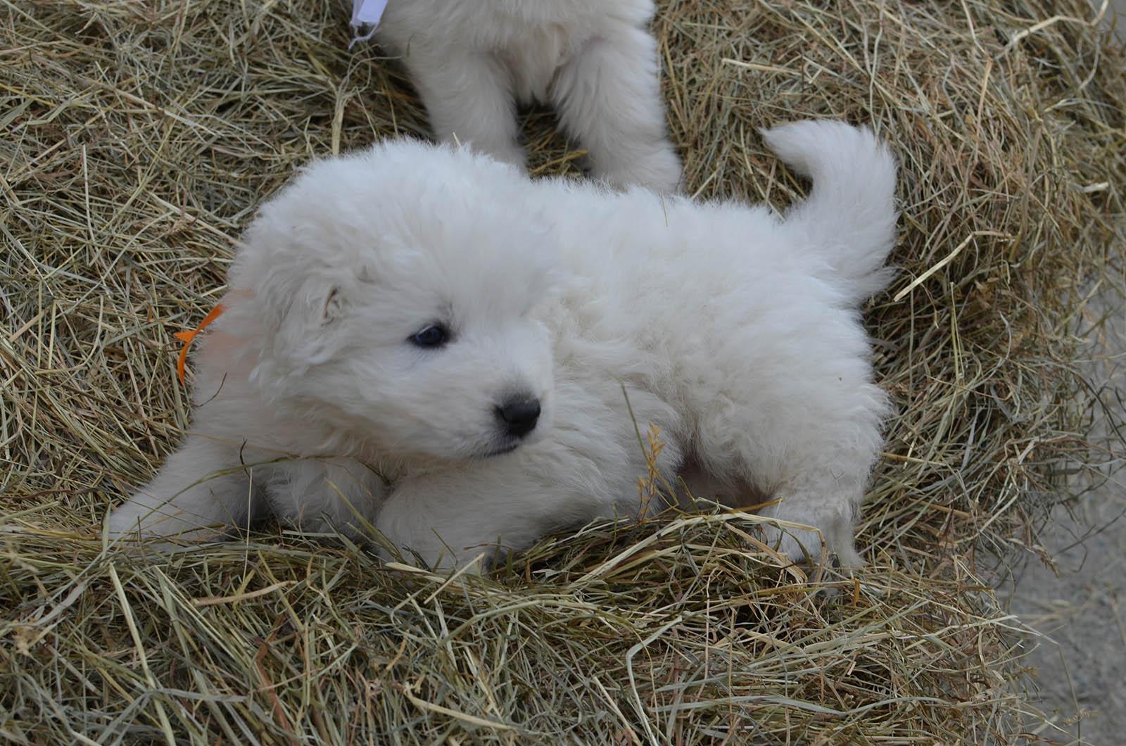 un cucciolo di pastore maremmano sdraiato su del fieno