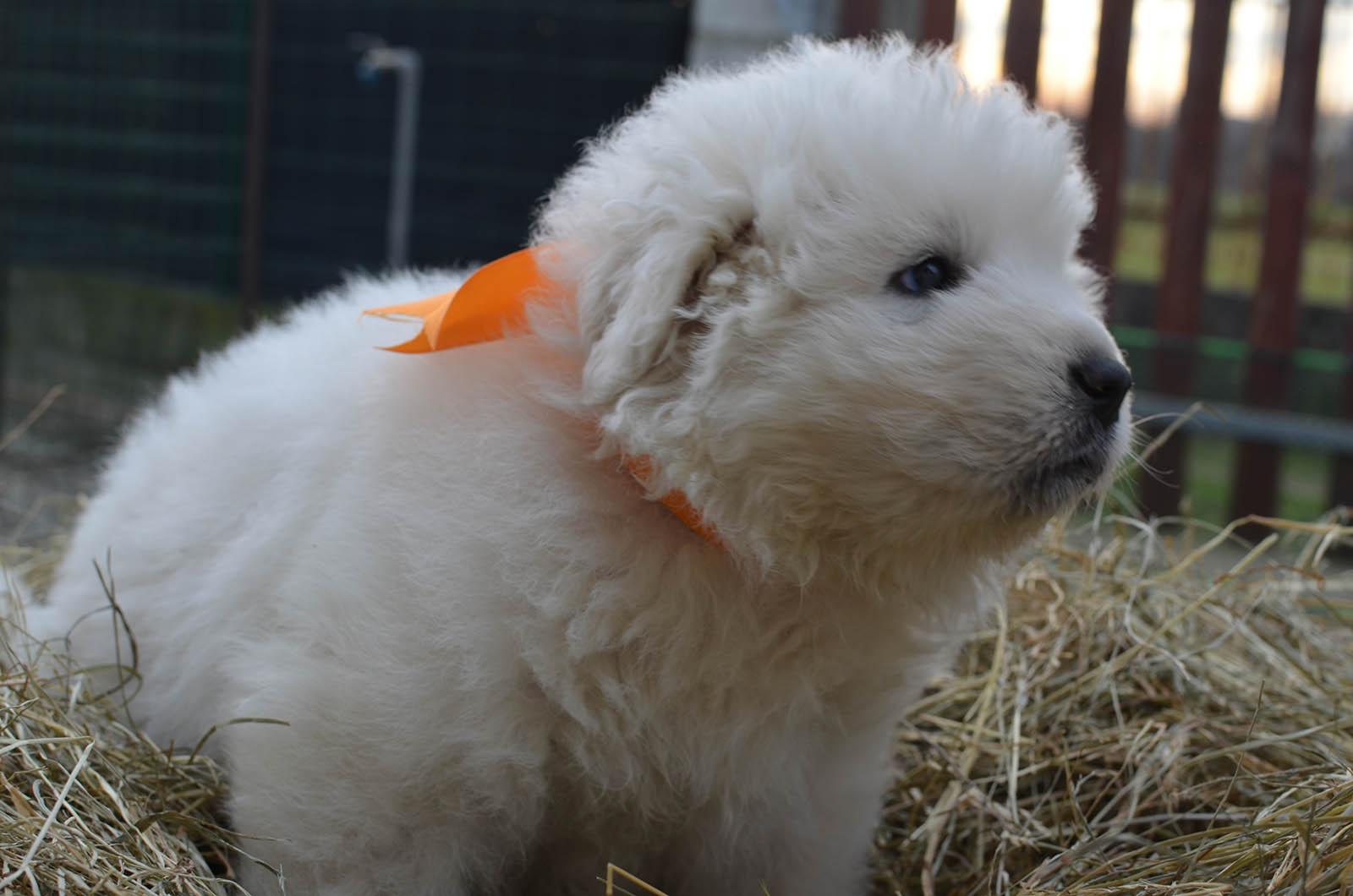 un cucciolo di pastore maremmano con un nastro arancione al collo