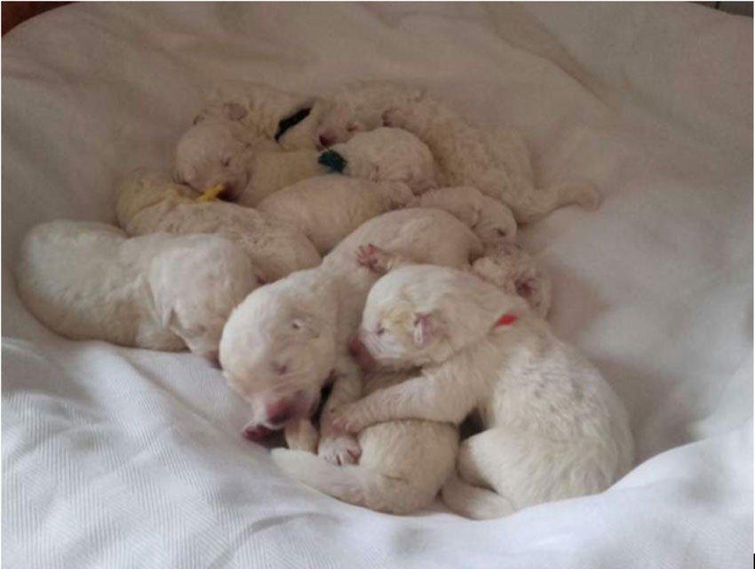Cuccioli di pastore maremmano