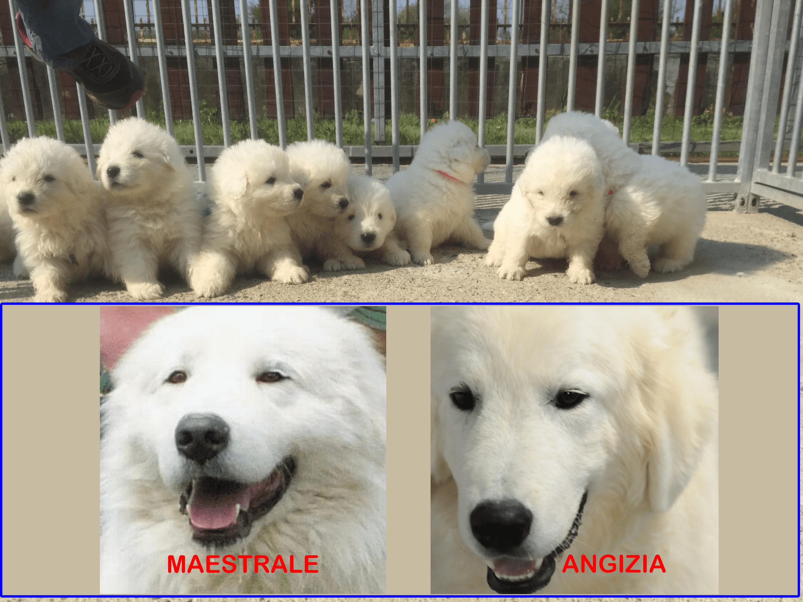gabbia con otto cuccioli di pastore maremmano bianchi e la foto dei genitori