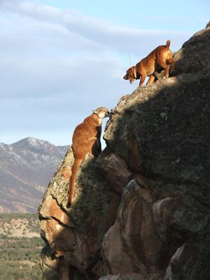 mt lion hunts