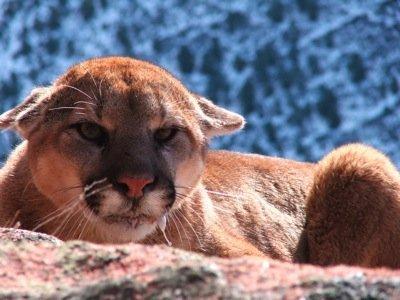 High Success Mountain Lion Hunts