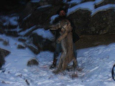 Utah mountain lion hunts
