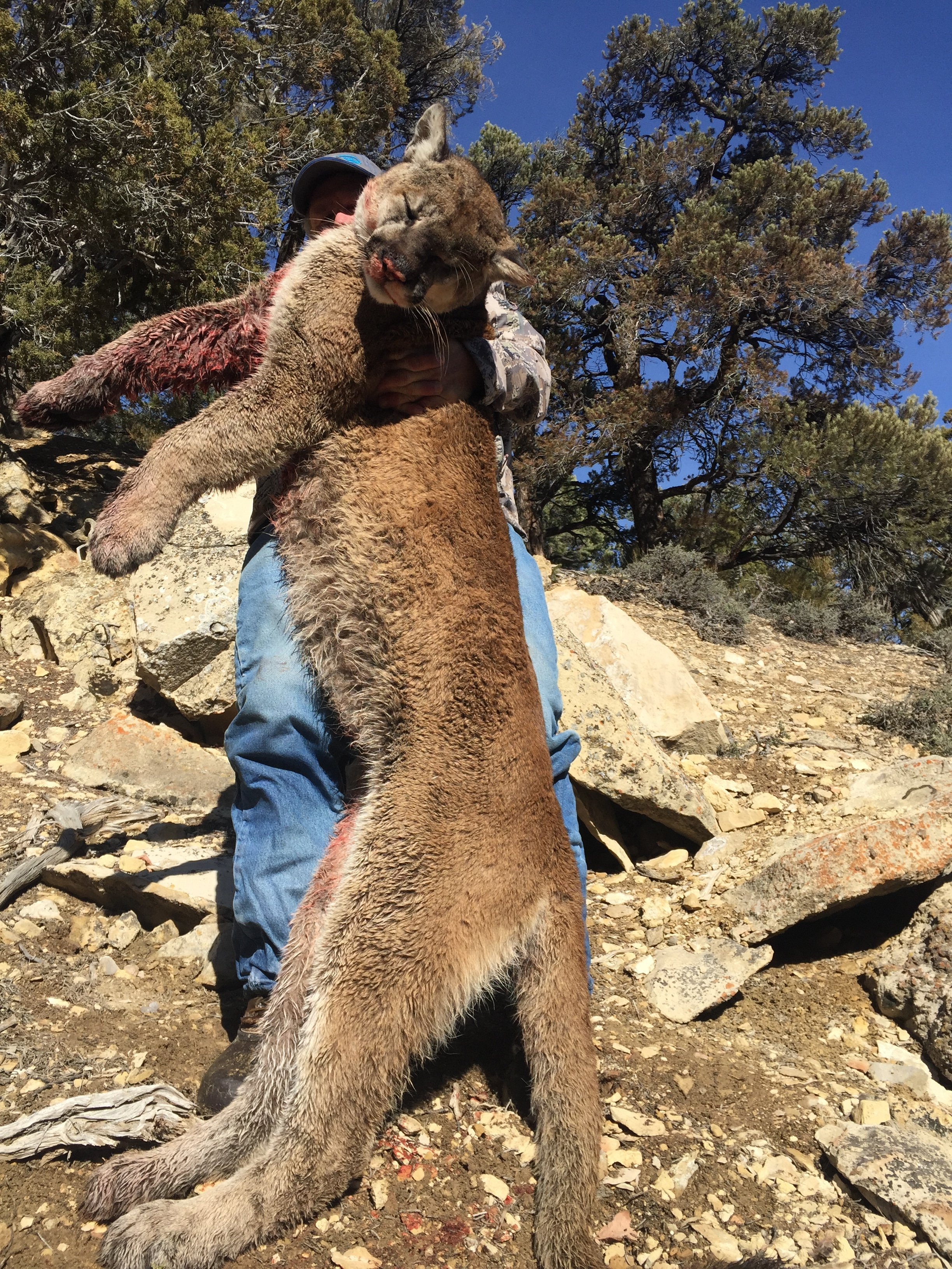 successful guided mountain lion hunts