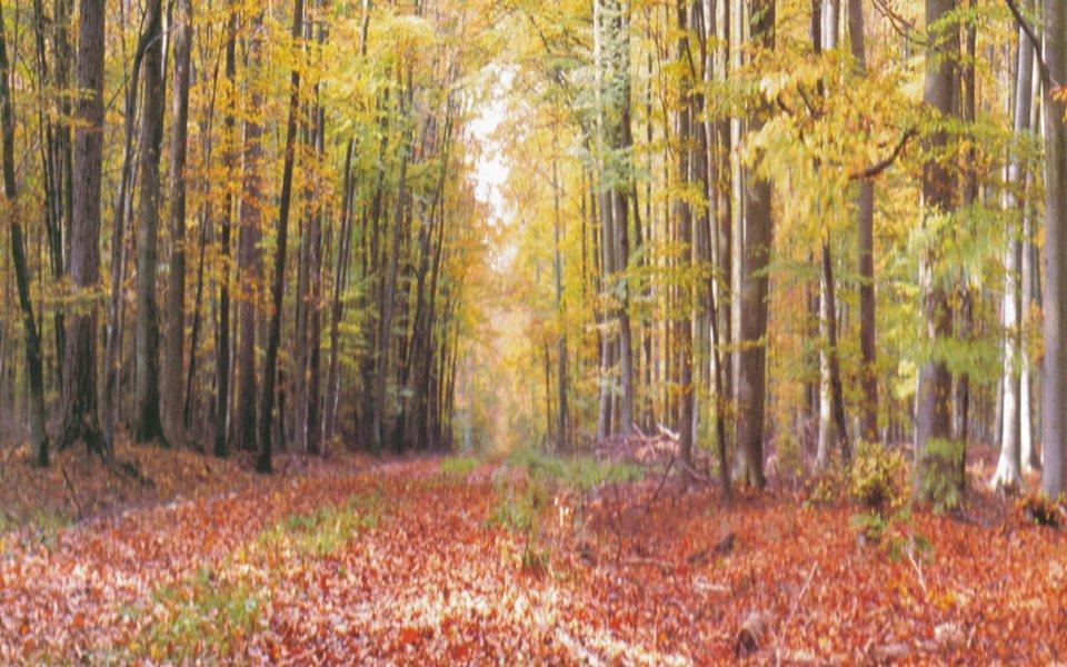 a birch forest in autumn