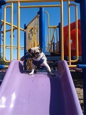 Pug on slide