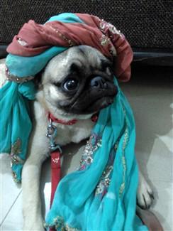 prince pug dog
