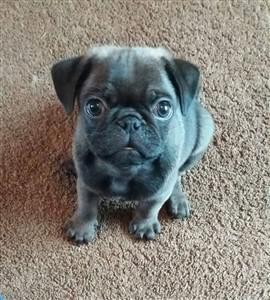 Pug from UK