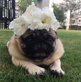 pug with flowers.jpg