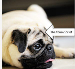 Pug with thumbprint marking