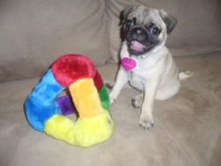Pug puppy smiling