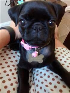 small black pug