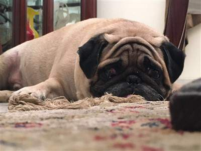 5 year old pug, ump
