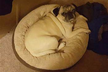 Pug sitting in a bed