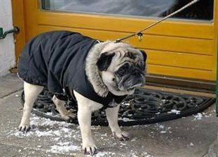 pug-dog-in-winter-with-coat-on