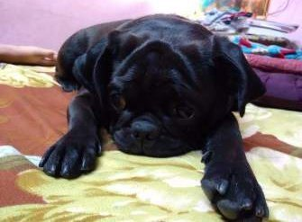 solid black Pug dog puppy