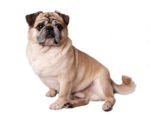 Pug dog with button ears