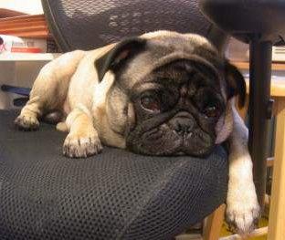 cute pug dog on chair