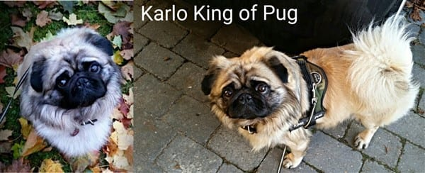 long-haired-pug-male-