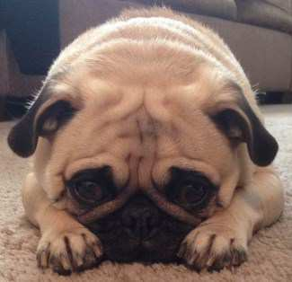 female Pug looking serious