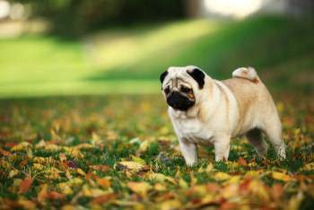 Pug dog outside on autumn day