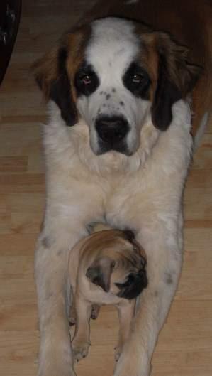 Small Pug with large dog