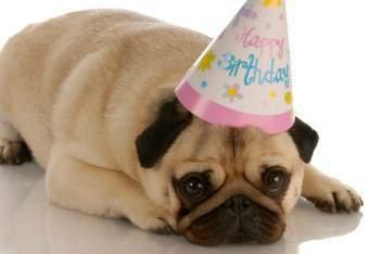Pug dog with birthday hat
