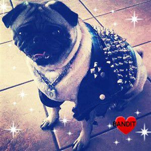 pug-dog-with-leather-jacket