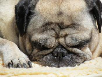 Pug dog with resting with eyes closed