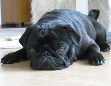 Pug dog in heat
