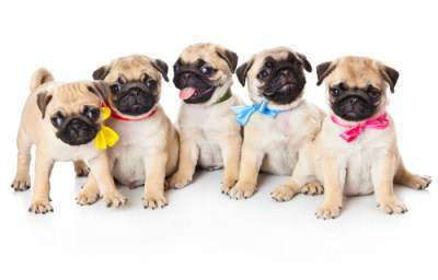 Potty training a litter of Pug puppies