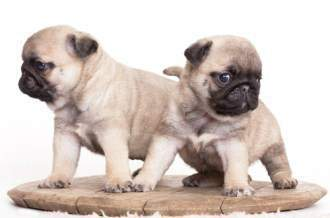 Two fawn Pug puppies