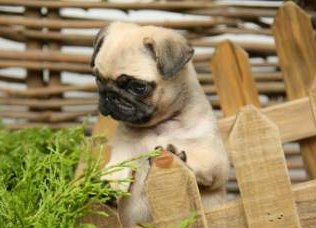 Pug puppy behind wooden fence