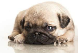 Pug puppy sold for 600 dollars