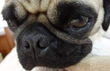 Pug puppy with big eyes