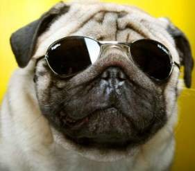 pug wearing sun glasses