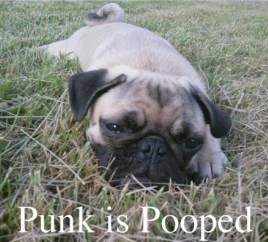 Pug puppy tired after exercise