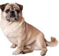 Pug with very long tail