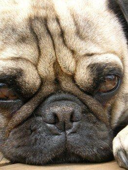 Pug dog with deep wrinkles