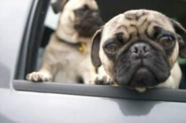 Pugs puppies in car