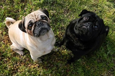 pugs-one-fawn-one-black
