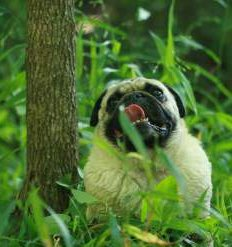Senior Pug dog outside in forest