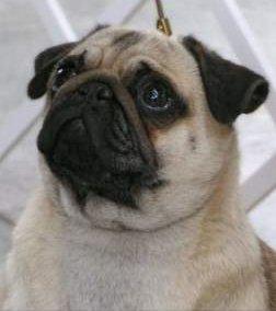 Pug dog with big eyes and ears
