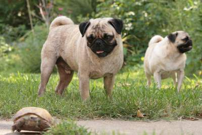 Curious Pug dog looking at turtle