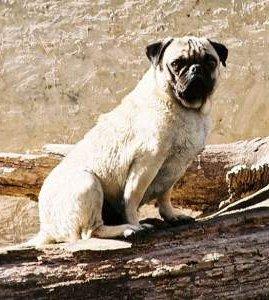 Old Pug dog on log