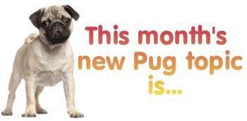 Pug dog introduction