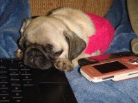 Pug pictures 35